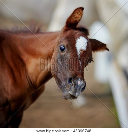 Amusing Portrait Of A Foal.