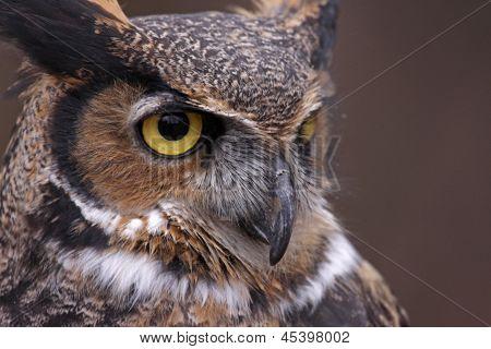Great Horned Owl Focus