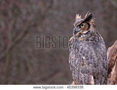 Great Horned Owl Copyspace