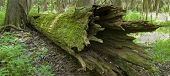 stock photo of hollow log  - A rotting cypress in the Congaree Swamp National Park - JPG