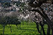 Almond trees with blossom