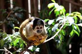 image of marmosets  - Common Marmoset  - JPG