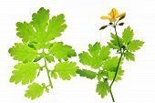 pic of celandine  - Blooming greater celandine  - JPG