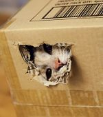 Cat Looking Through A Hole In Cardboard Box