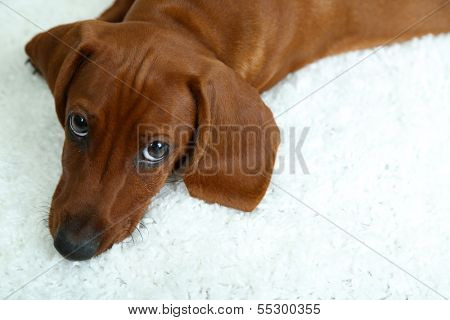 Cute dachshund puppy on white carpet