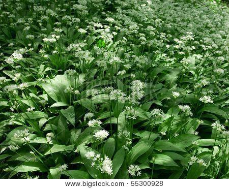 Ramsons, Allium Ursinum