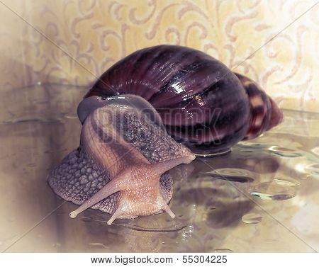 Snail Achatina_2