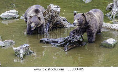 Two Alaskan Brown Bear Cubs