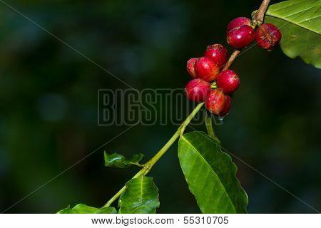 Coffee Berries