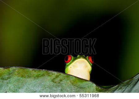 Red Eyes Tree Frog