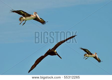 Endangered Brown Pelicans flying
