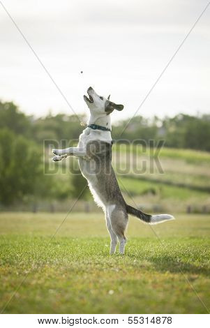 Mixed Breed White Dog Jumping High To Catch Dogfood
