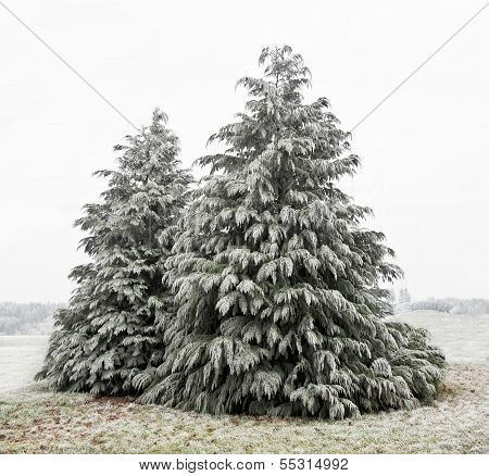Cedar Trees with white frost