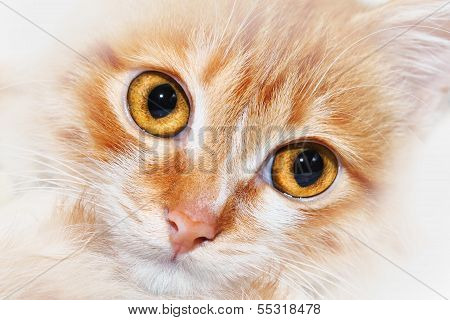 Red Cat Snout Closeup