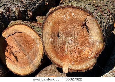 Tree Wood Stump Cross Section