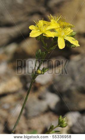 Pale St John's-wort flower