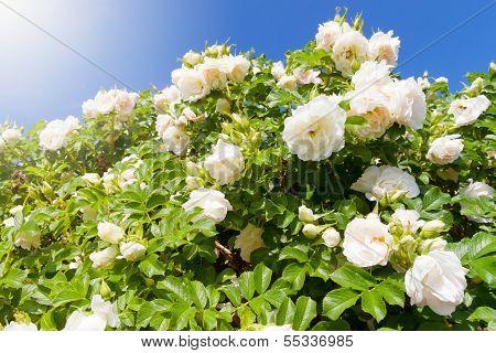 Bush Of White Garden Roses