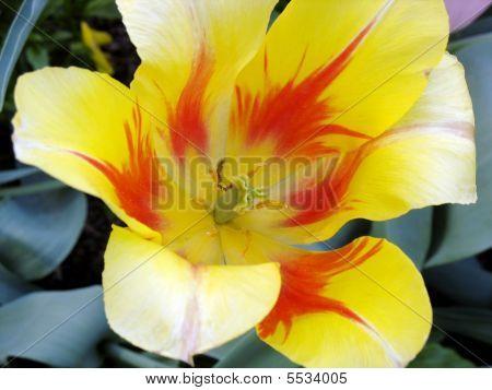 Tulip With An Orange Flame Design