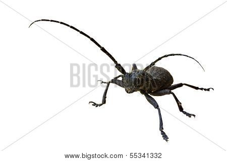 European Longhorn Beetle Morimus On The White Background.