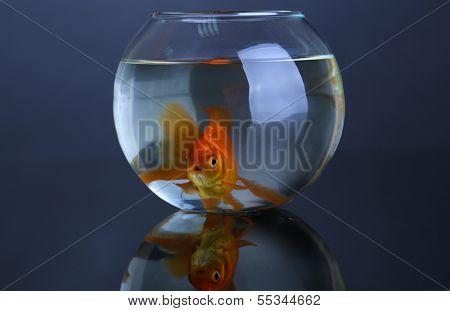 Goldfish in aquarium on black background