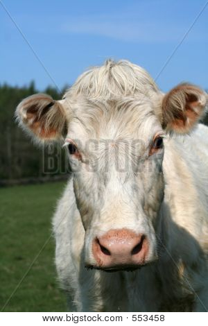 Mrs Moo Cow