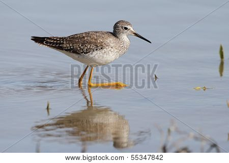 Lesser Yellowlegs Calling