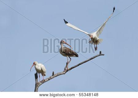 White Ibises - Texas