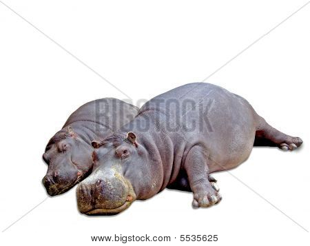 Baby And Mother Hippo