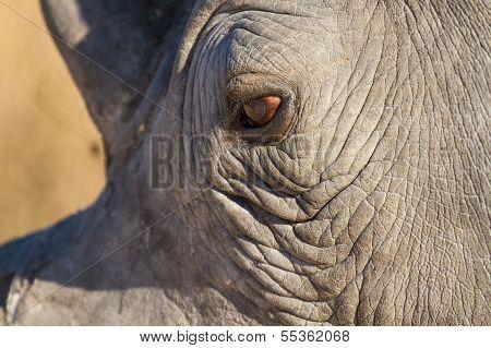 Rhino Eye Close-up Looking Sad In Sunlight