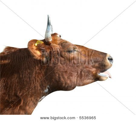 Ayrshire Cow With Swollen Jaw