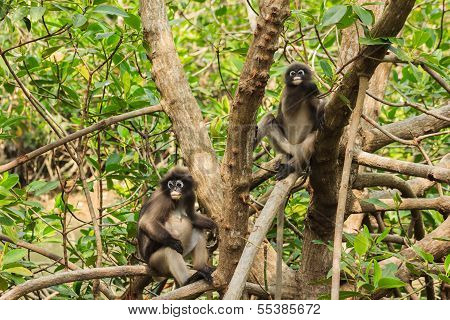 Two Macaque