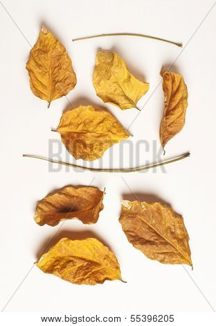 dry leave on white background
