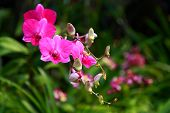 stock photo of orquidea  - tropical beautiful orchid in Nakhonprathom province of Thailand - JPG