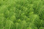 picture of horsetail  - Medicinal Herb Field horsetail in sunny day - JPG
