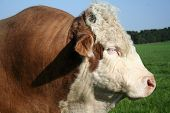 picture of hereford  - magnificent hereford bull - JPG