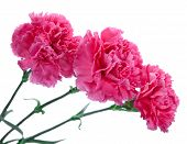 stock photo of carnations  - three pink carnations - JPG