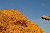 picture of threshing  - The threshing machine is blowing straw through the air and unto the straw pile - JPG