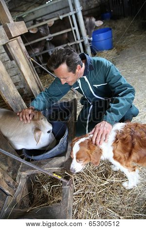 Cheerful farmer petting cows in barn