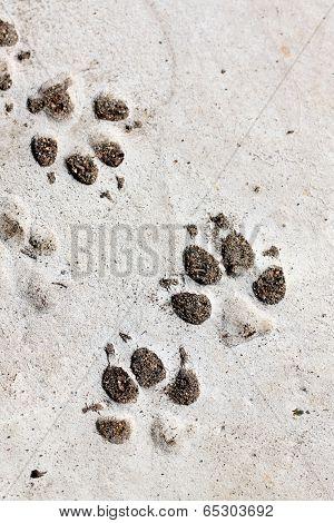 Footprints Of Dog.