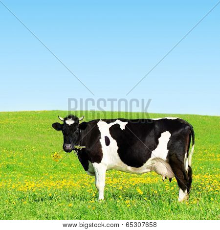 Cow grazing on a green meadow.
