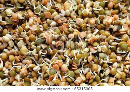 Sprouting Lentils Mix