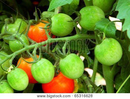 Vine Ripening Plum Tomatoes