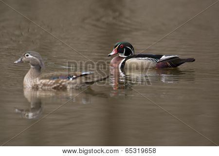 Female And Male Wood Duck