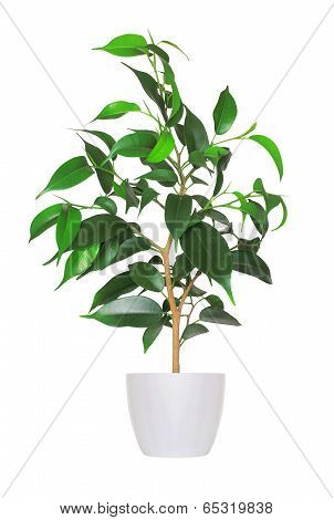 Houseplant - Yang Sprout Of Ficus A Potted Plant Isolated Over White