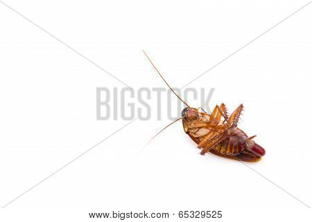Cockroach Lying With Egg In Bottom On White