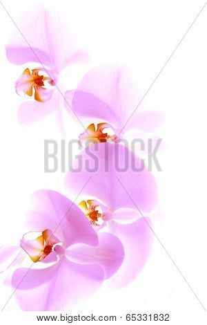 Pink delicate orchid isolated on white background