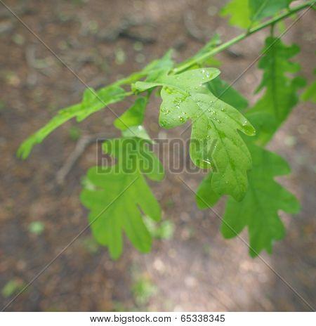 An Oak Tree Leaf