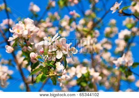 Apple Flowers In Full Blossom During Springtime