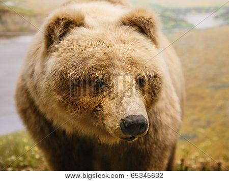 Kodiak Bear By River