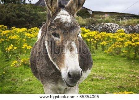 Beguiling Irish Donkey In Green Field With Yellow Flowers